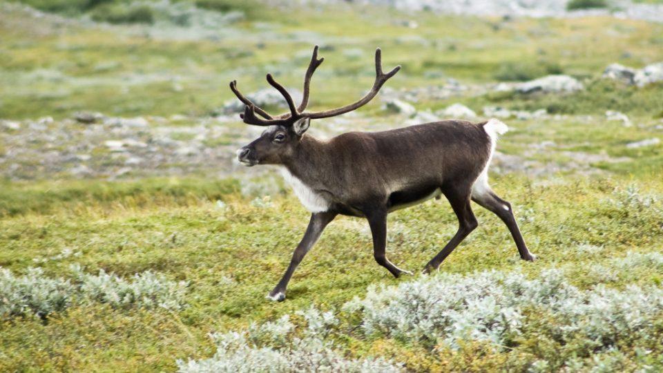 Sob polární je příkladem zvířete, které se biologickými hodinami příliš neřídí.