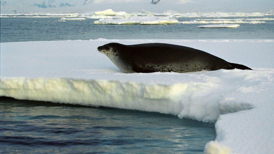 Tuleň Weddelův