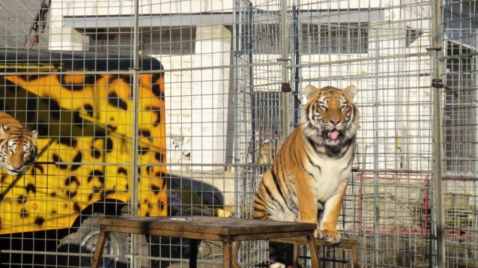 Dospělý tygr cirkusu Jo Joo