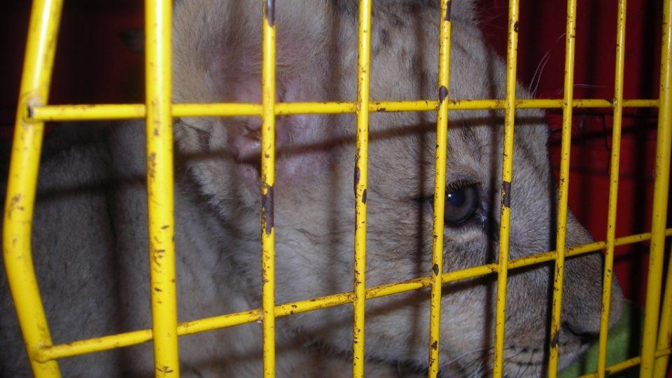 Lvíček Nelson přicestoval do Rádia Junior v přepravce.