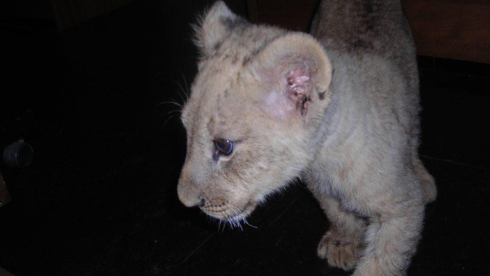 Lev pustinný Nelson navštívil Rádio Junior