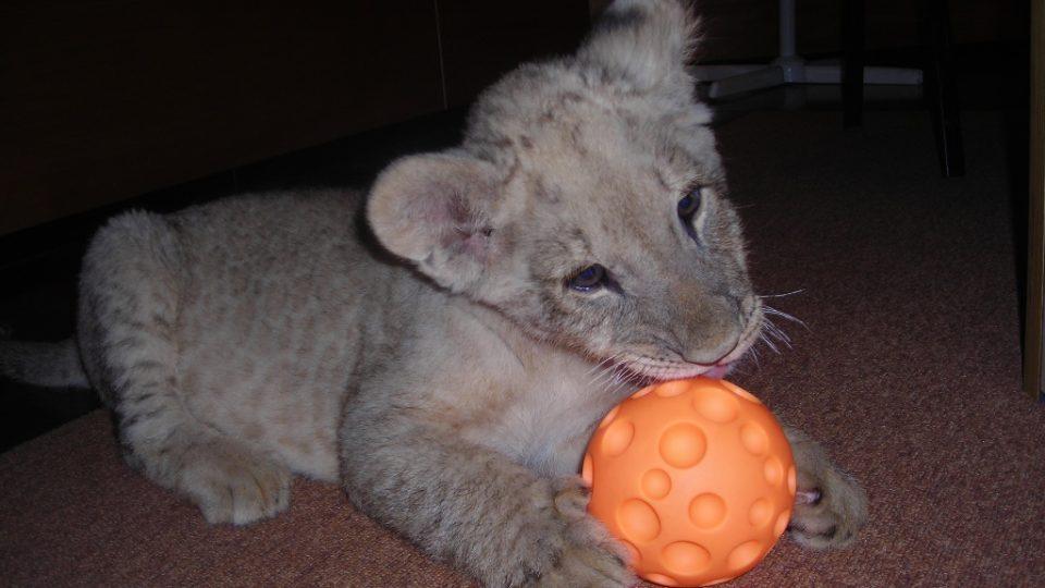 Lvíček Nelson dostal ve studiu na hraní míček. Půjčil mu ho buldok moderátorky Veroniky Hájkové.
