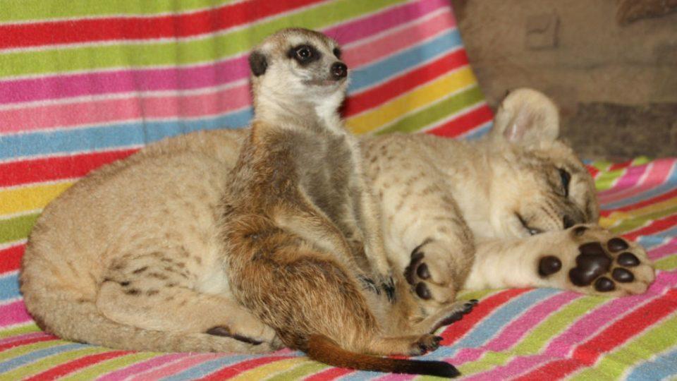 Surikata hlídá, aby mohl lev Nelson nerušeně spát