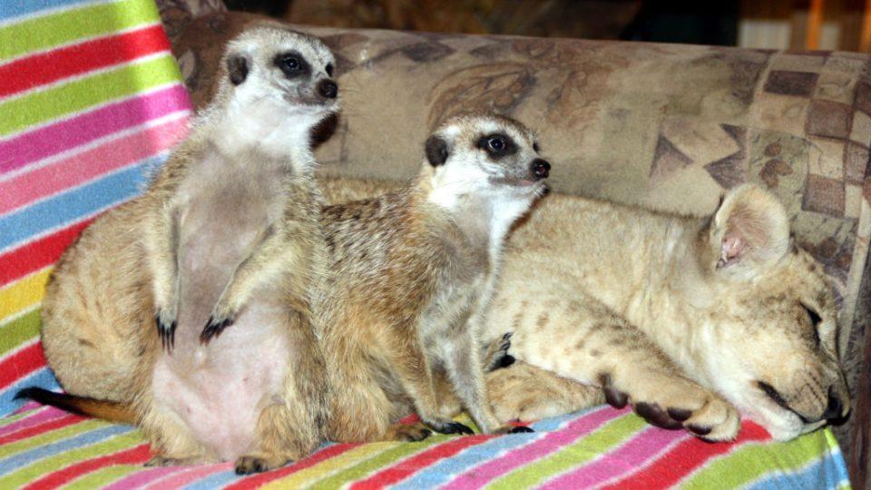 Lev Nelson a surikaty