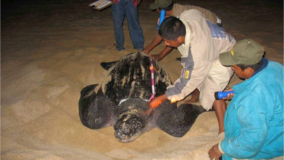 Kožatka velká je největší mořská želva