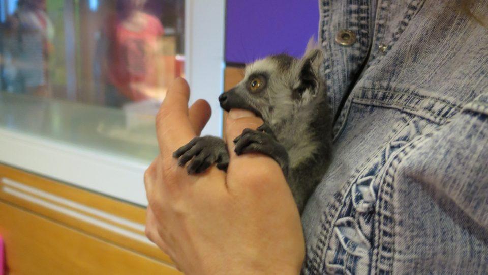 Lemur se tulil ke své paničce Lucii Vaňkové z Terária Praha