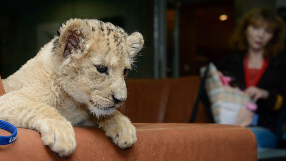 Malá lvice Lefinka se hned uvelebila na gauči před rozhlasovým studiem