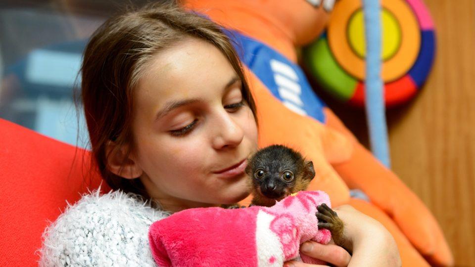 Malého lemura drží v náručí dcera našeho rozhlasového fotografa