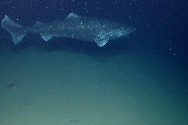 Žralok malohlavý nebo také grónský  (Somniosus microcephalus) | foto: NOAA Photo Library,  Flickr,  CC BY 2.0