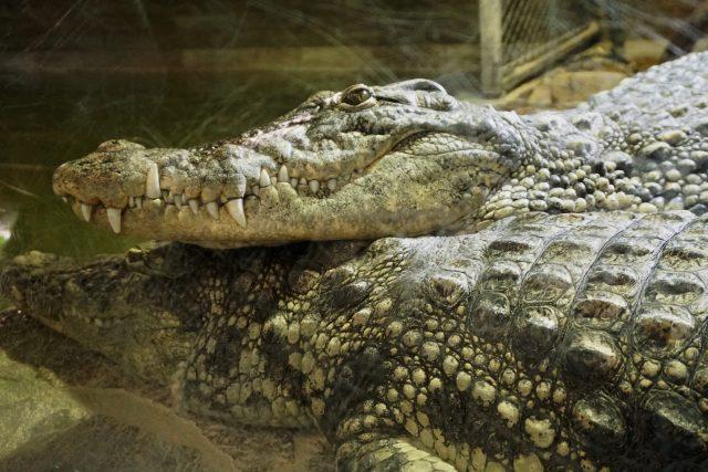 Krokodýli z krokodýlí zoo v Protivíně