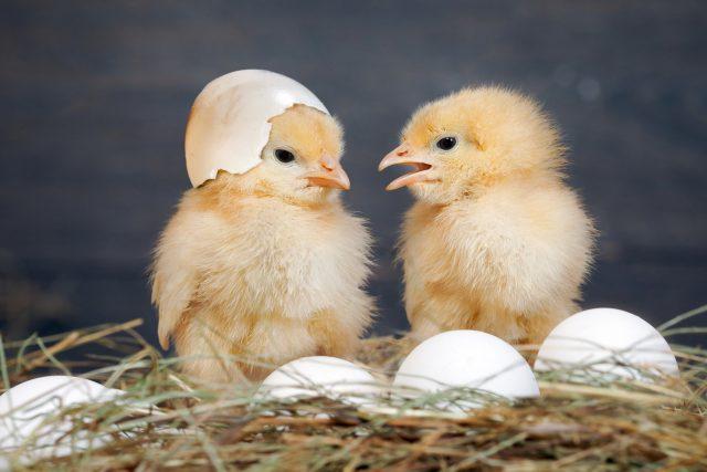 Jak se z vejce stane kuřátko? | foto: Shutterstock