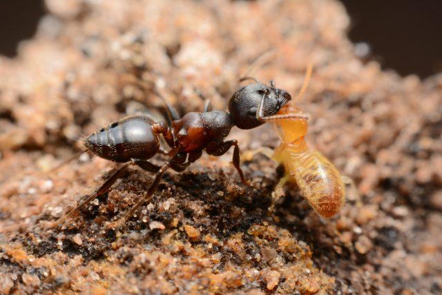 Mravenec bojující s termitem | foto: Shutterstock