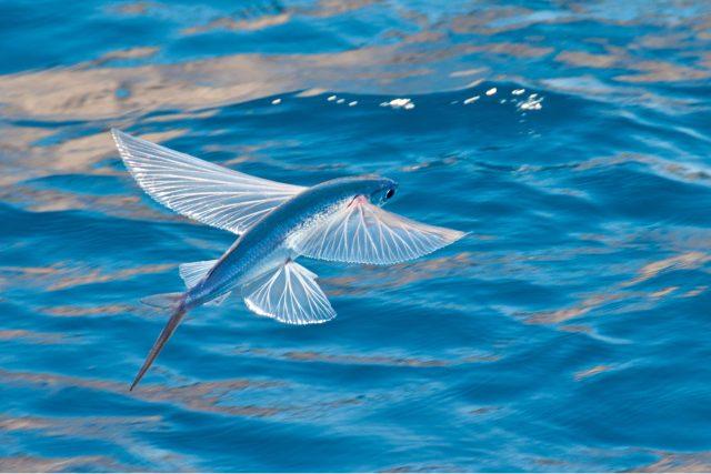 Kolik uletí létající ryba? | foto: Shutterstock