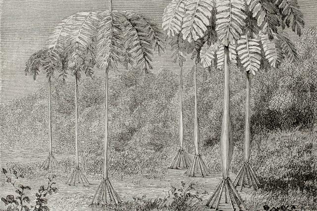 Takhle chodící palmy zachytila ilustrace v jednom francouzském časopise v roce 1864 | foto: Shutterstock
