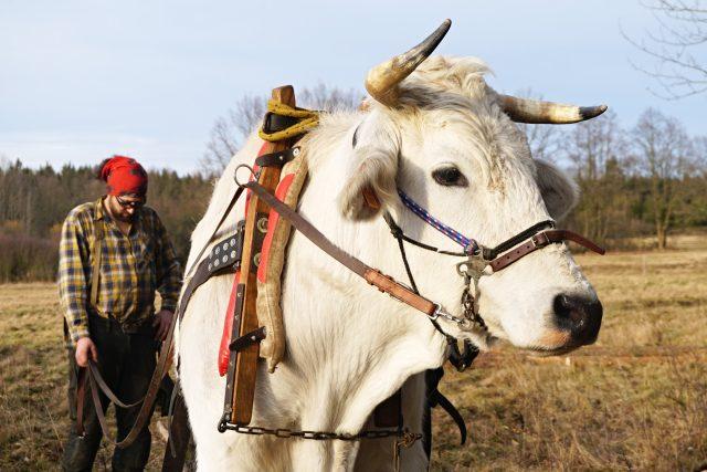 Cyril patří k největšímu plemenu skotu na světě