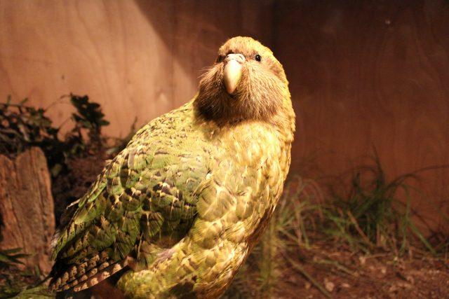 Kakapo soví je zvláštní papoušek