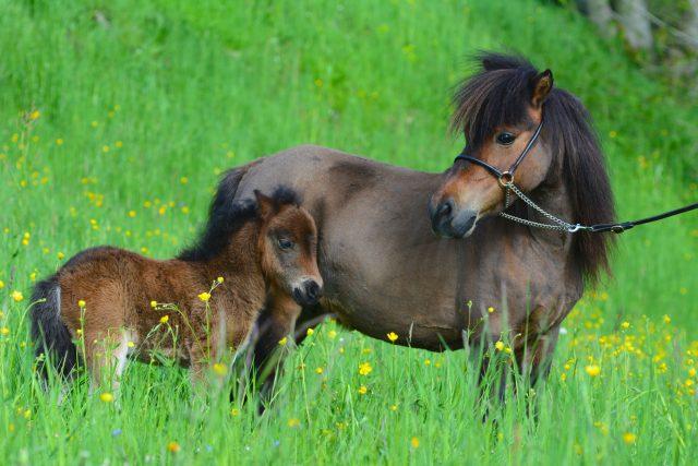 Koníci plemene falabella jsou roztomilí | foto: Shutterstock