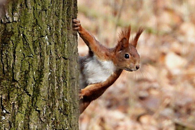Roztomilou veverku můžete potkat i v Praze | foto: Karel Kerouš