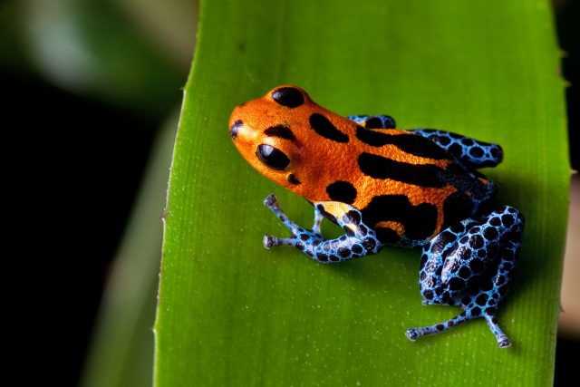 Žáby pralesničky jsou sice krásné jako malé drahokamy,  jsou však prudce jedovaté | foto: Shutterstock