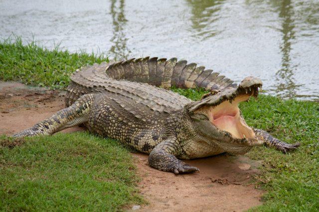 Co nevíte o krokodýlech? | foto: Shutterstock
