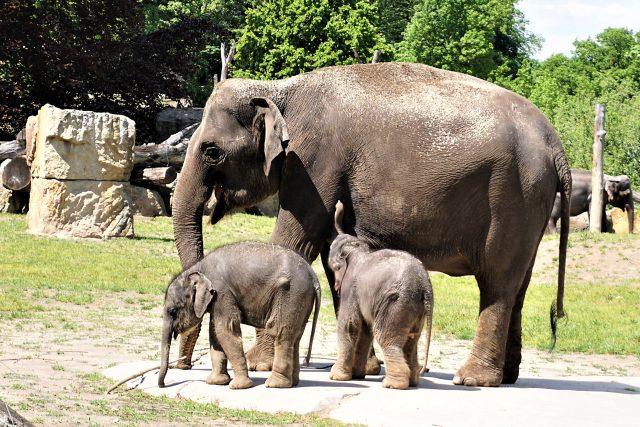 Nová slůňata v pražské zoo se mají čile k světu
