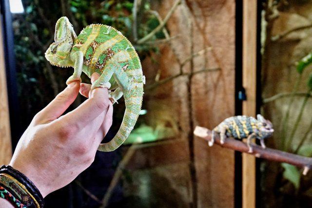 Mezi sebou se chameleoni moc nekamarádí