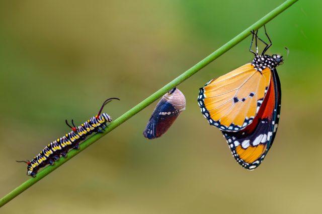 Fáze vývoje motýla | foto: Shutterstock