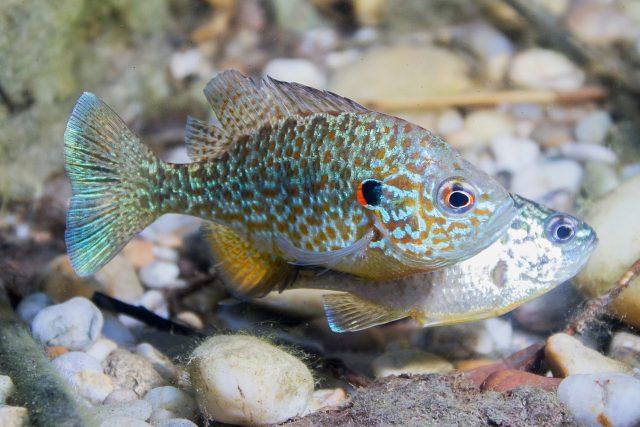 Tahle rybka vypadá jako akvarijní, přesto ji v malém množství najdete i u nás v přírodě
