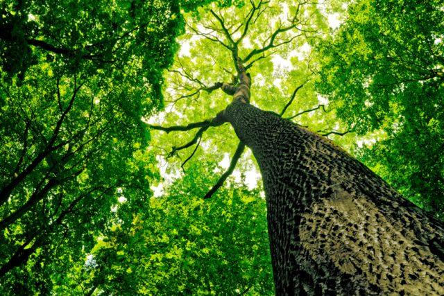 Víte,  kolika let se mohou dožít stromy?   foto: Shutterstock