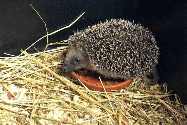 Narazili jste před zimou na ježka? Co dělat? | foto: Jana Opočenská,  Český rozhlas