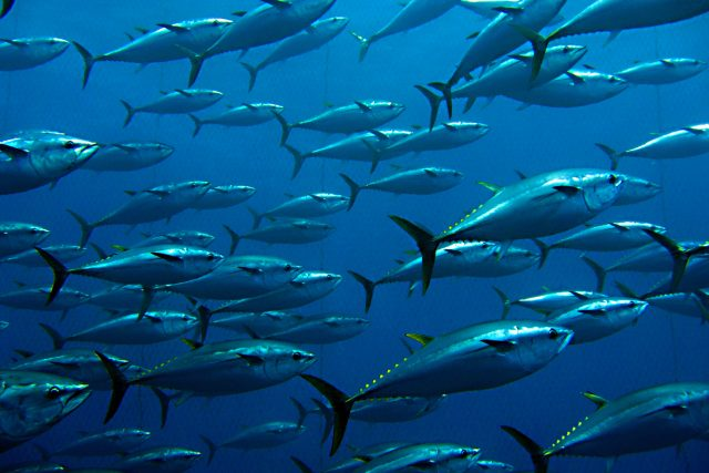 Jsou ryby opravdu němé?