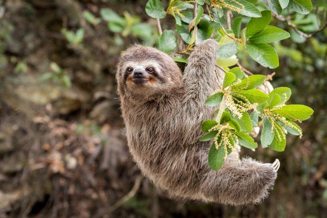 Lenochod je roztomilé zvíře   foto: Shutterstock