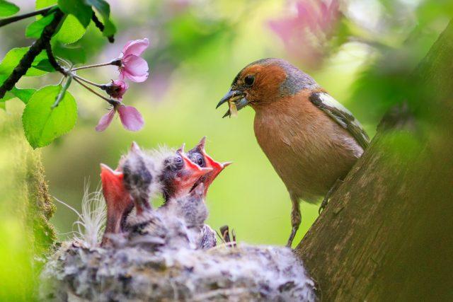 Ne každé ptáče, které vypadne z hnízda, potřebuje lidskou pomoc